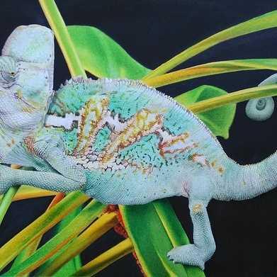 rango, the chamaeleo calyptratus