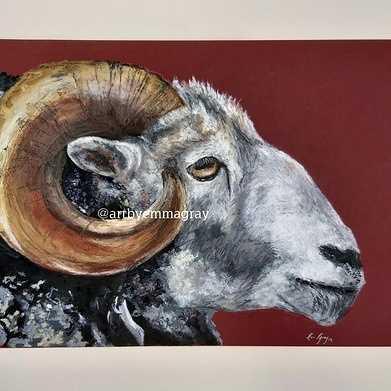 galloway sheep
