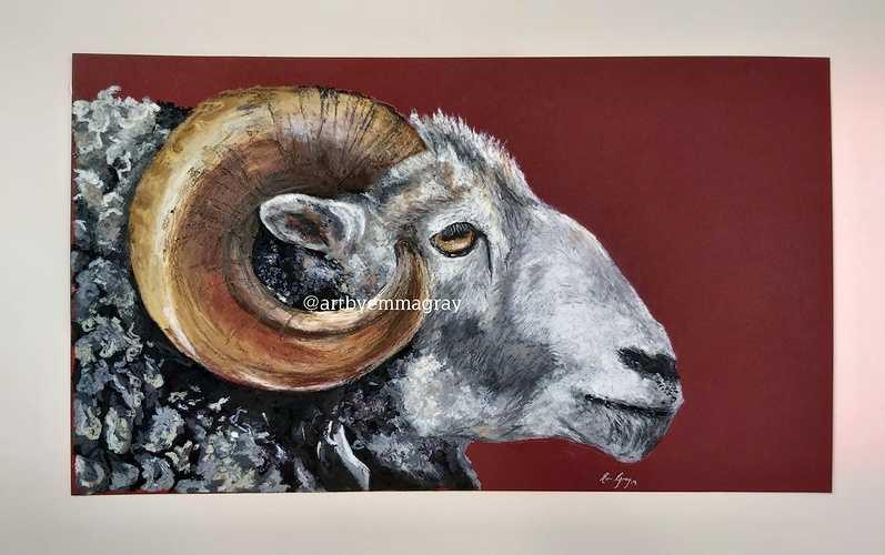 Galloway sheep 0