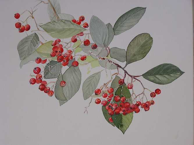Cotoneaster 0