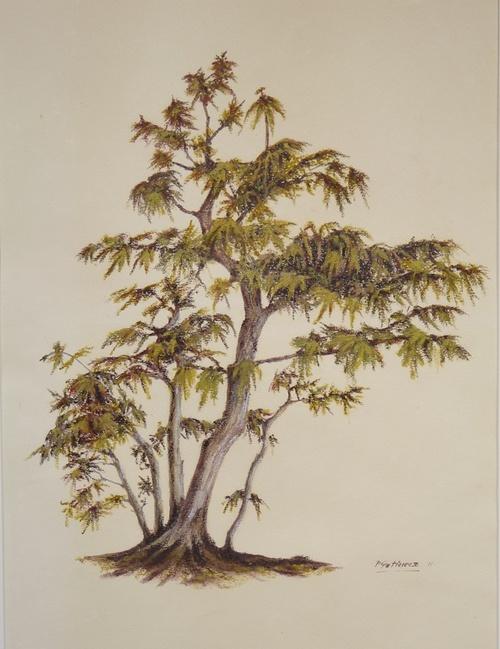 Bonsai Acer Palmatum 0