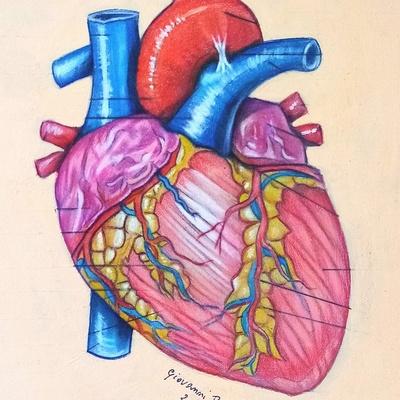 Anatomia del cuore. Pastello carbothello su carta pastelmat.