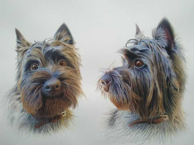 ''Charles, the cairn terrier'' 0