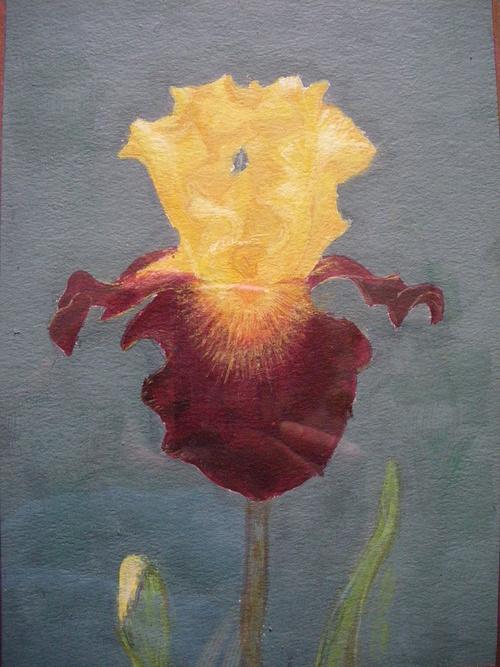 iris jaune et pourpre 0