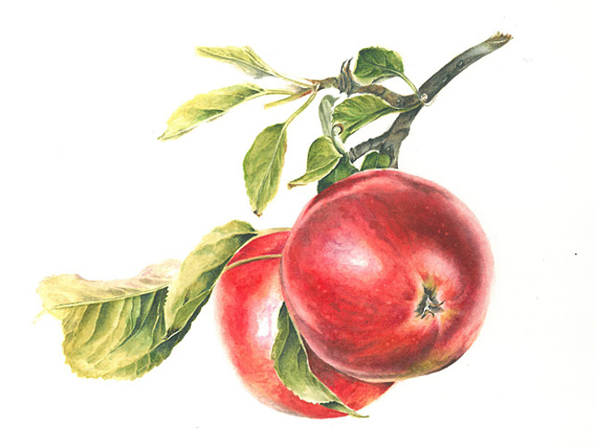 Bright red apples 0