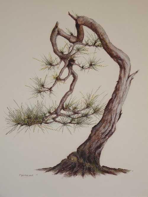 Bonsai Pinus Silvestris 0