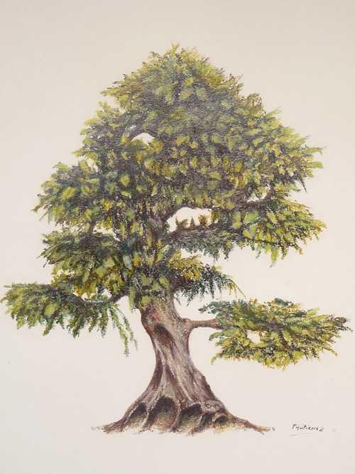 Bonsai Carpinus 0